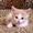 Персиковый котенок в добрые руки #1320827