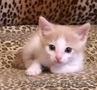 Персиковый котенок в добрые руки